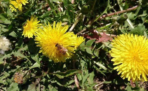 タンポポとミツバチの写真