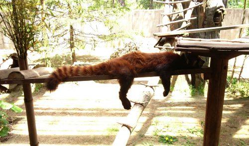 レッサーパンダの写真